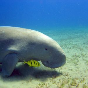 Sea cow in Marasa Alam
