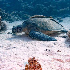 turtle marsa alam diving